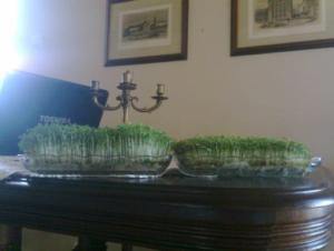 Porównanie sadzenia dwóch rzeżuch
