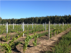 Winnica Grójec październik 2013 woda studnia wzrost winorośli ok 1 metra.