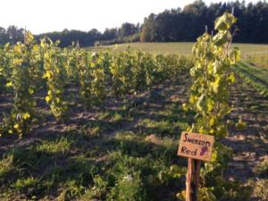 Winnica Kadyny październik 2013 woda aktywna wzrost winorośli 3 metry na foto po przycięciu.